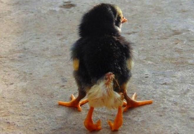 Đổ xô đi xem chú gà mới nở có 4 chân tại Nghệ An 5