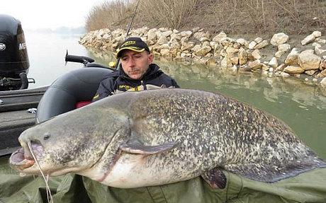 Bắt được cá nheo quái vật có thể nuốt chửng một người ở Italy 7