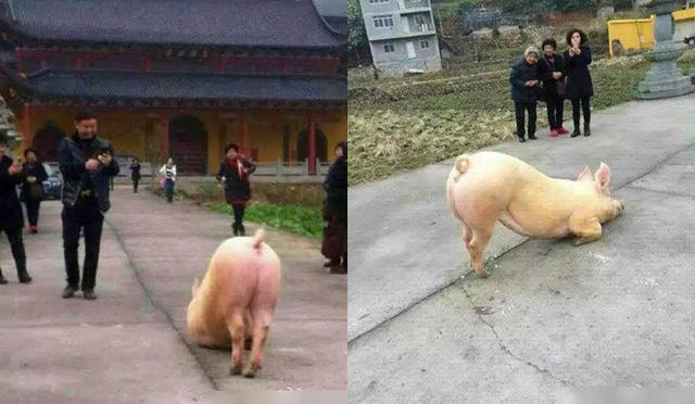 Trung Quốc: Thú vị hình ảnh chú lợn vái trước cửa đền 4
