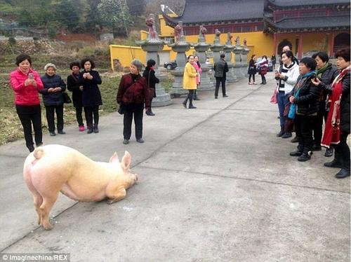 Hình ảnh Sự thật chú lợn 1,5 tạ quỳ lạy trước cổng chùa số 1