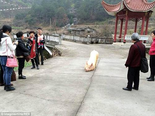 Hình ảnh Sự thật chú lợn 1,5 tạ quỳ lạy trước cổng chùa số 2