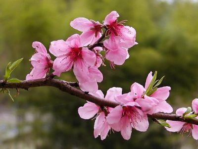 Lợi ích 'thần kỳ' của hoa đào ít người biết 5