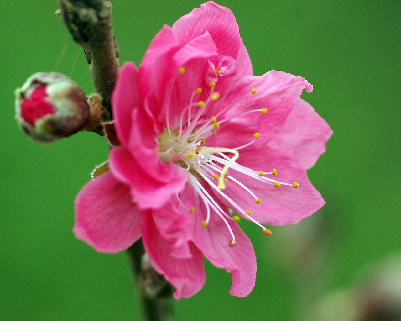 Lợi ích 'thần kỳ' của hoa đào ít người biết 6