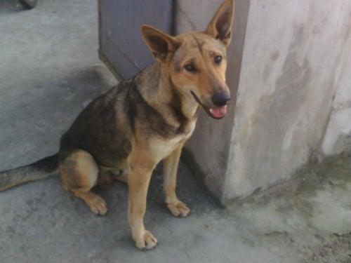Con chó chuyên ra chợ trộm thịt lợn, mang về cho chủ nghèo