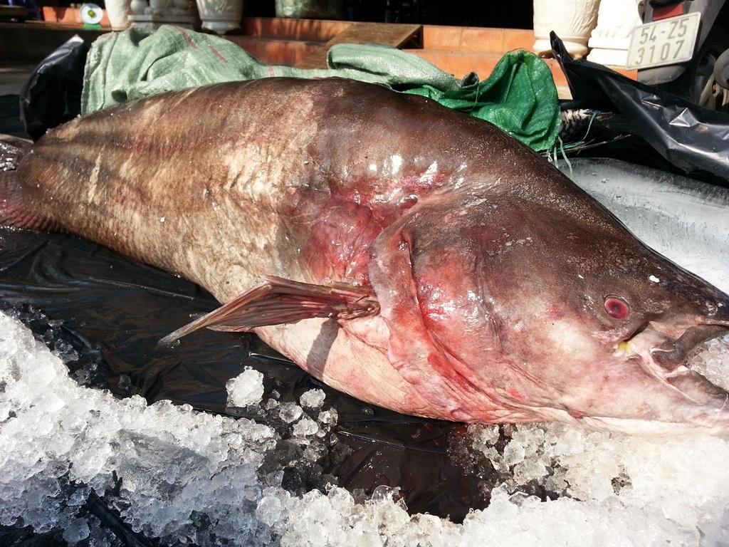 Cận cảnh cá leo dài 1,7 m, nặng 65 kg ở miền Tây 6