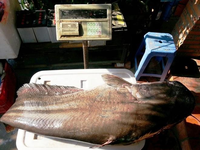 Cận cảnh cá leo dài 1,7 m, nặng 65 kg ở miền Tây 8