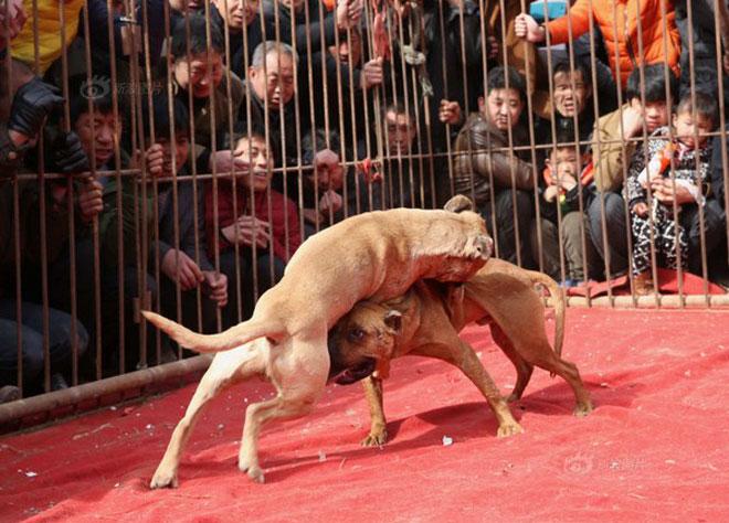 Lễ hội chọi chó đẫm máu gây tranh cãi ở Trung Quốc 1