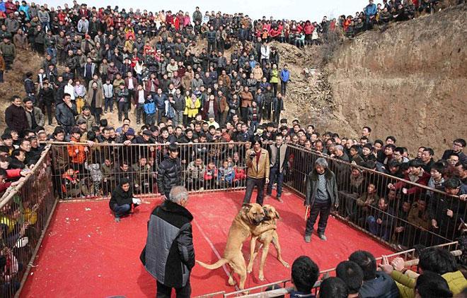 Lễ hội chọi chó đẫm máu gây tranh cãi ở Trung Quốc 2