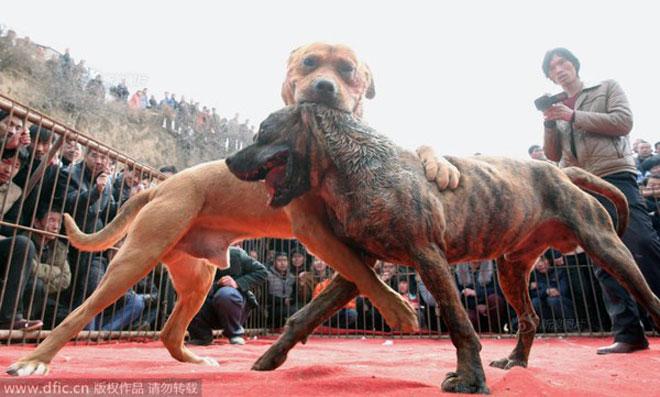 Lễ hội chọi chó đẫm máu gây tranh cãi ở Trung Quốc 3