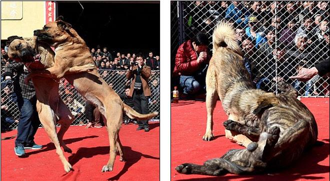 Lễ hội chọi chó đẫm máu gây tranh cãi ở Trung Quốc 4