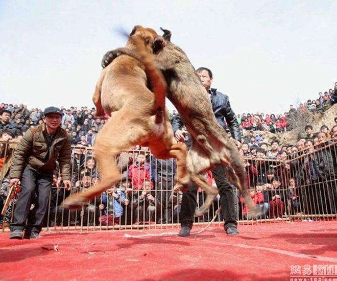 Lễ hội chọi chó đẫm máu gây tranh cãi ở Trung Quốc 5