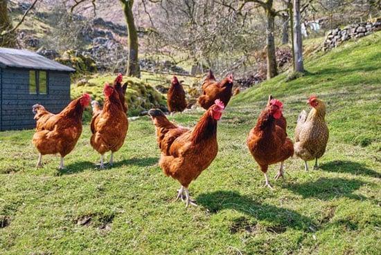 1.250 con gà hộ nghèo