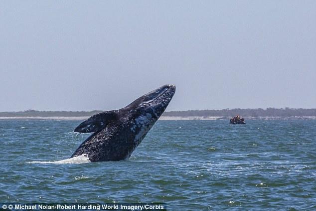 Bị cá voi xám nhảy đè lên người, nữ du khách Canada thiệt mạng 5