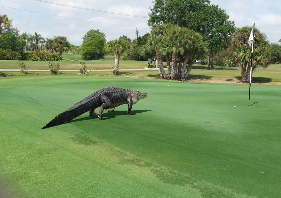 Hoảng hồn cá sấu khổng lồ bò lên sân golf 7