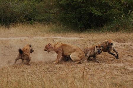 Hình ảnh Chó sói trêu ngươi bị sư tử quật chết số 1