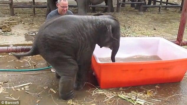 Cảnh tắm thùng hài hước của chú voi con 6