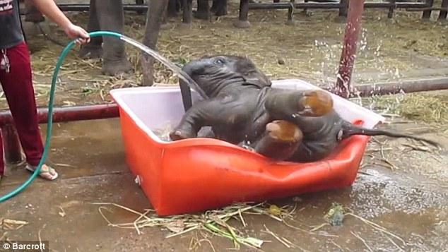 Cảnh tắm thùng hài hước của chú voi con 10