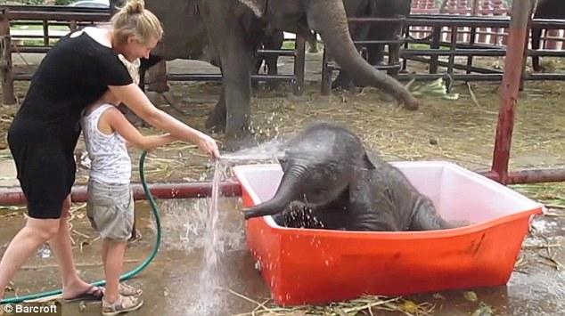 Cảnh tắm thùng hài hước của chú voi con 11