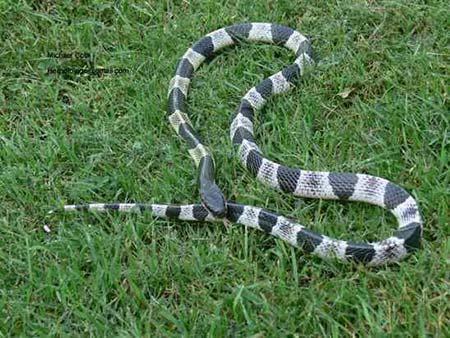 Tận mục 6 loài rắn cực độc trên thế giới 7