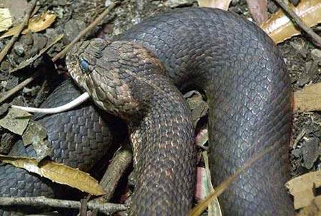 Tận mục 6 loài rắn cực độc trên thế giới 9