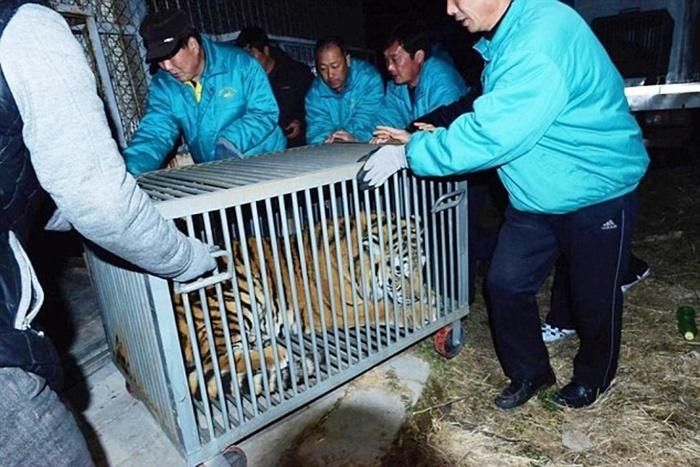 Đại gia nuôi hổ quý trên tầng 11, hổ rơi chết thảm 8