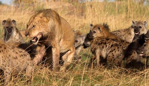 Sư tử đánh linh cẩu tan tác 4
