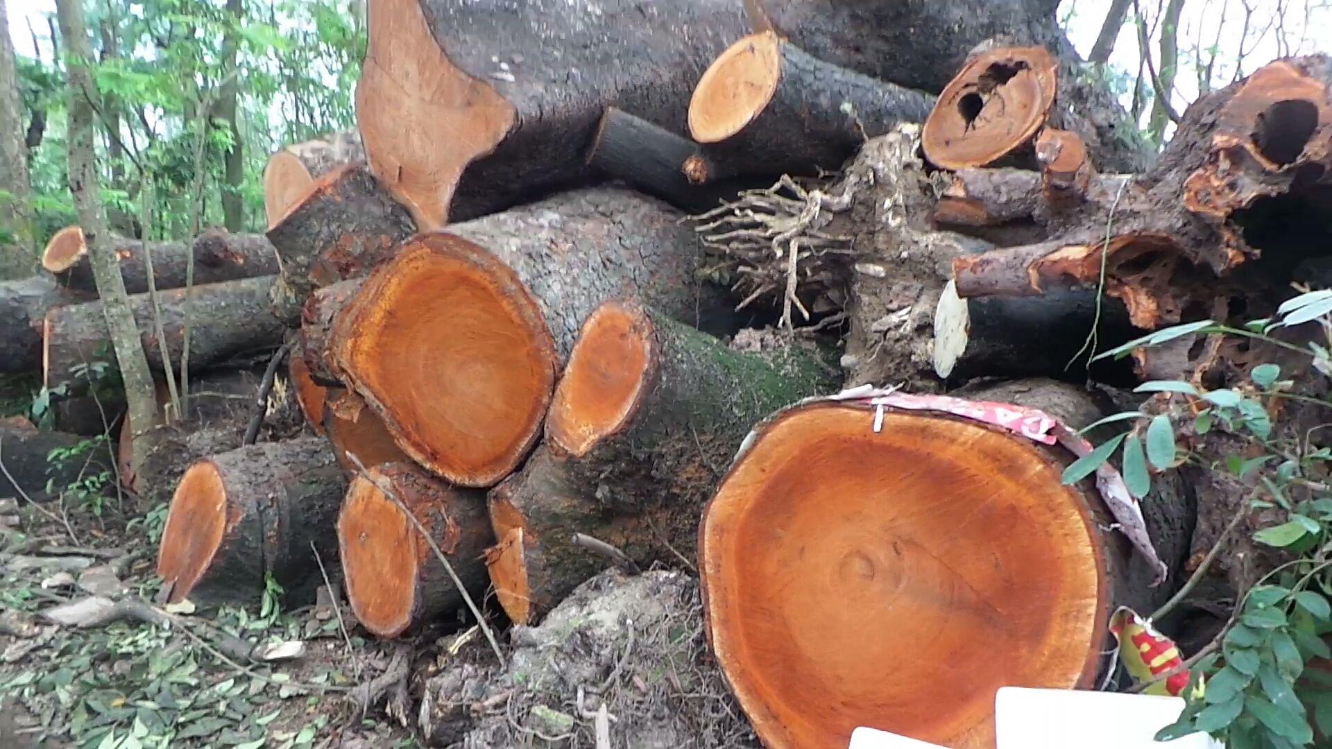 """Chặt cây Hà Nội: Bãi tập kết cây """"bí mật"""" bị phát hiện 5"""