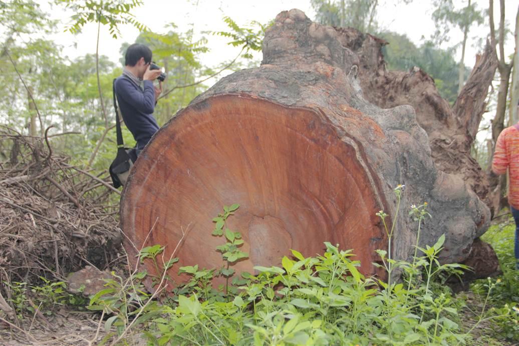 Tìm ra bãi tập kết gỗ xà cừ bị chặt hạ trên đường Nguyễn Trãi 6