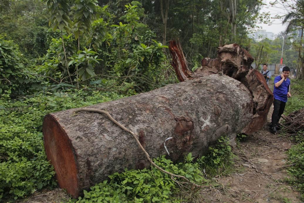 Tìm ra bãi tập kết gỗ xà cừ bị chặt hạ trên đường Nguyễn Trãi 7
