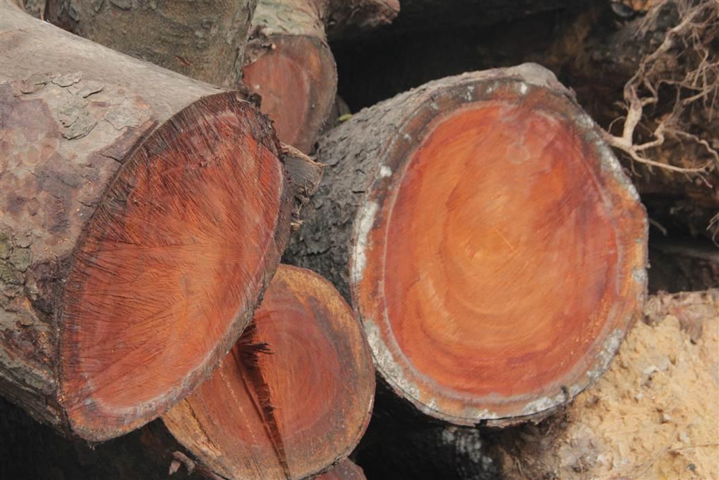 Tìm ra bãi tập kết gỗ xà cừ bị chặt hạ trên đường Nguyễn Trãi 14