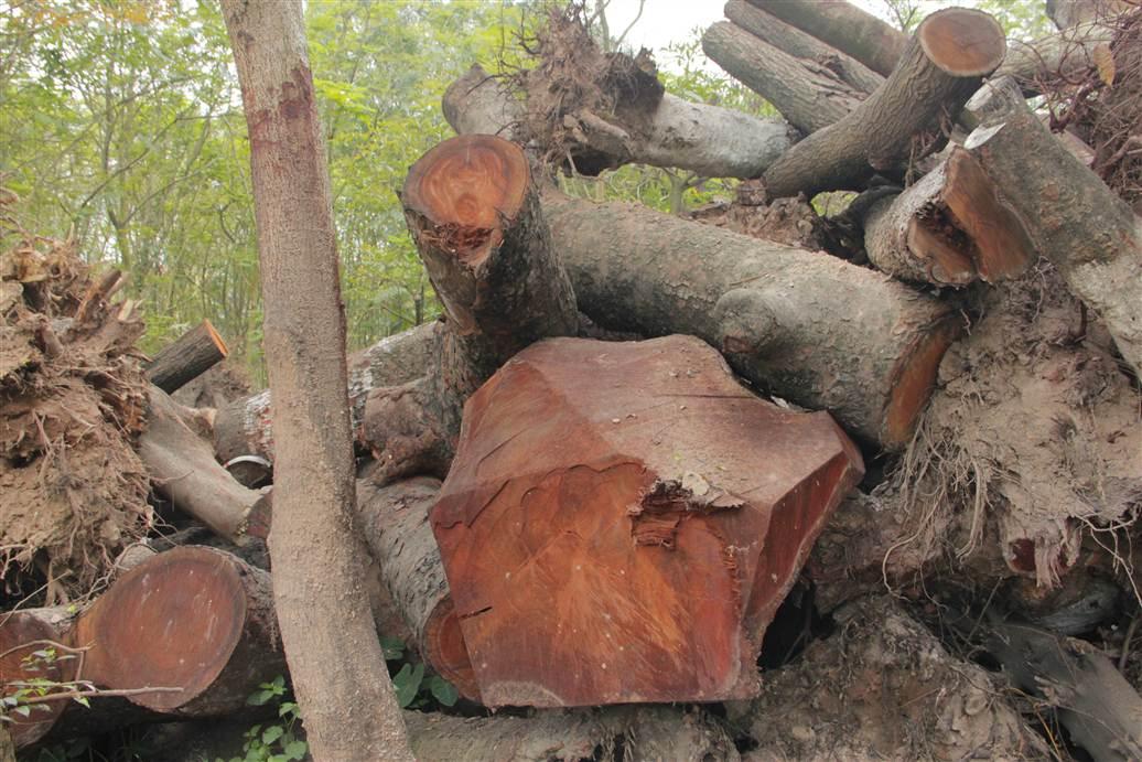 Tìm ra bãi tập kết gỗ xà cừ bị chặt hạ trên đường Nguyễn Trãi 16