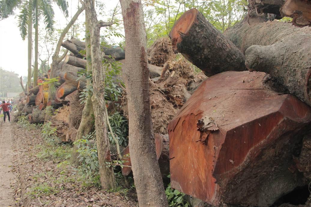 Tìm ra bãi tập kết gỗ xà cừ bị chặt hạ trên đường Nguyễn Trãi 8
