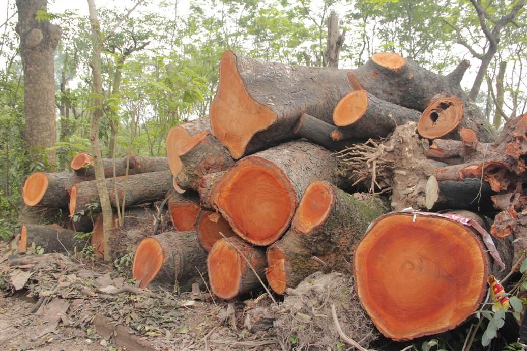 Tìm ra bãi tập kết gỗ xà cừ bị chặt hạ trên đường Nguyễn Trãi 17