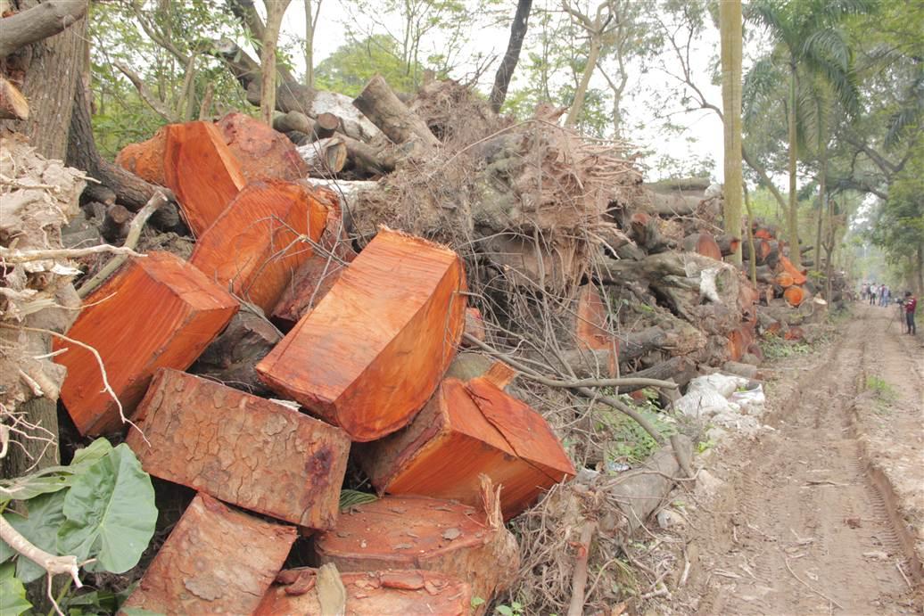 Tìm ra bãi tập kết gỗ xà cừ bị chặt hạ trên đường Nguyễn Trãi 5