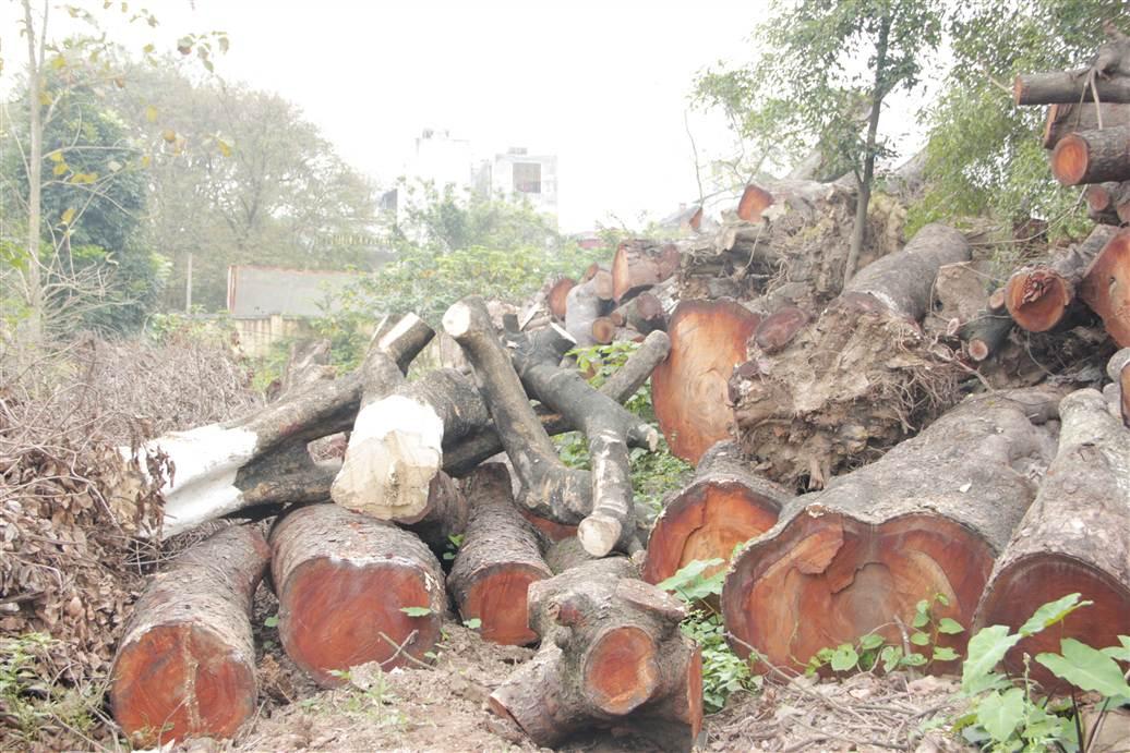 Tìm ra bãi tập kết gỗ xà cừ bị chặt hạ trên đường Nguyễn Trãi 18