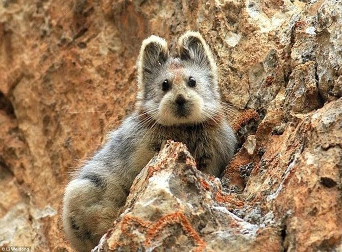 Loài thỏ mặt gấu tái xuất sau 2 thập kỷ 4