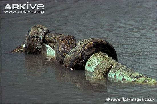 Hình ảnh Rùng mình mổ bụng rắn khổng lồ, lôi ra con trăn khủng số 2