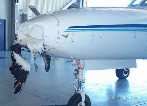 Vì sao chim thường lao đầu vào máy bay? 5