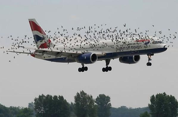 Vì sao chim thường lao đầu vào máy bay? 4