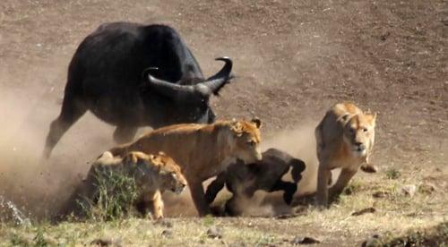 Bò rừng đoàn kết đánh bại sư tử cứu đồng loại 4