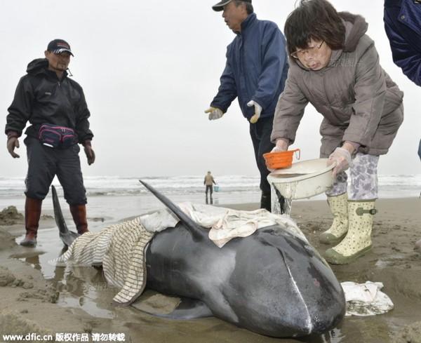 Bạt ngàn cá voi mắc cạn suốt 10km bờ biển Nhật Bản 2
