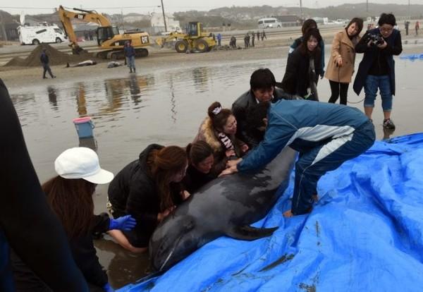Bạt ngàn cá voi mắc cạn suốt 10km bờ biển Nhật Bản 6