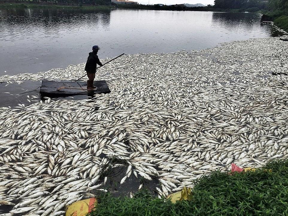 Hơn 100 tấn cá chết trắng hồ chỉ sau 1 đêm 1