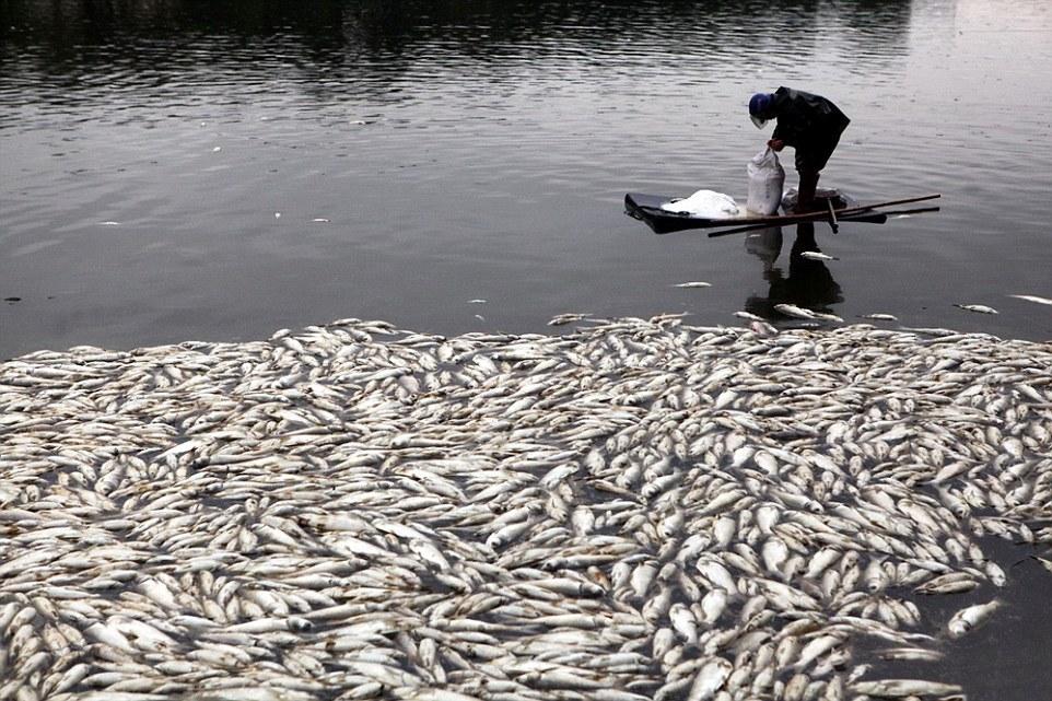 Hơn 100 tấn cá chết trắng hồ chỉ sau 1 đêm 6
