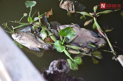 Đã xác định nguyên nhân cá chết trắng kênh Nhiêu Lộc-Thị Nghè 2