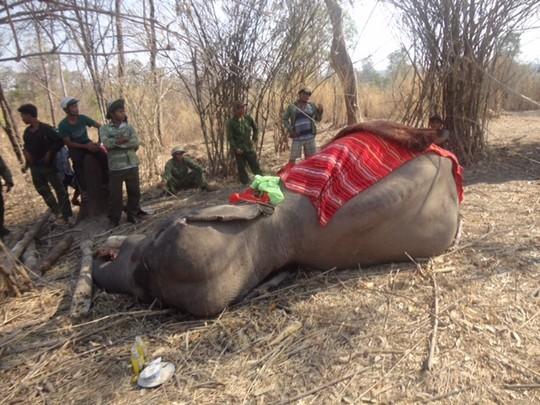 Bị một nhát chém vào đùi, voi nhà ngậm chặt miệng 2 ngày rồi chết 1