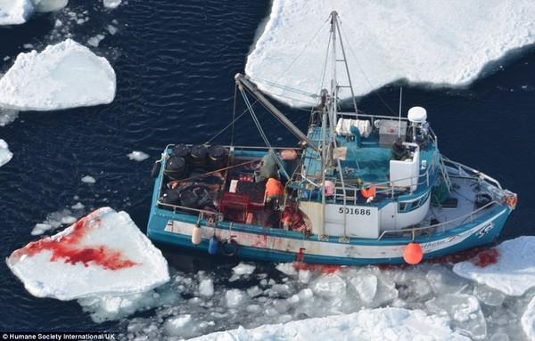 Hình ảnh Kinh hãi cảnh giết hải cẩu con đẫm máu để lấy lông số 1