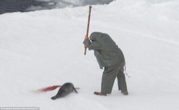 Hình ảnh Kinh hãi cảnh giết hải cẩu con đẫm máu để lấy lông số 2