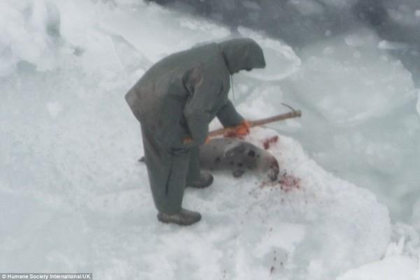 Kinh hãi cảnh giết hải cẩu con đẫm máu để lấy lông 3