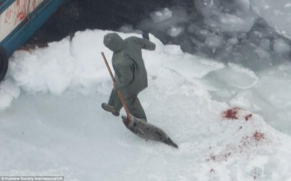 Kinh hãi cảnh giết hải cẩu con đẫm máu để lấy lông 4